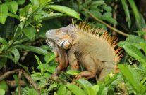 De groene leguaan / Green iguana (Iguana iguana) male