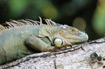 De groene leguaan / Green iguana (Iguana iguana) female