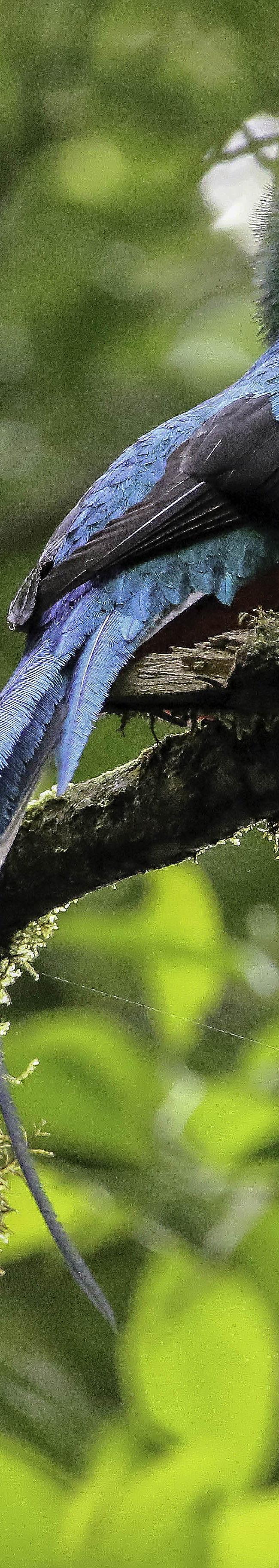Quetzal (Pharomachrus mocinno) Male