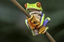 Roodoogmakikikker / Red-eyed tree frog (Agalychnis callidryas)