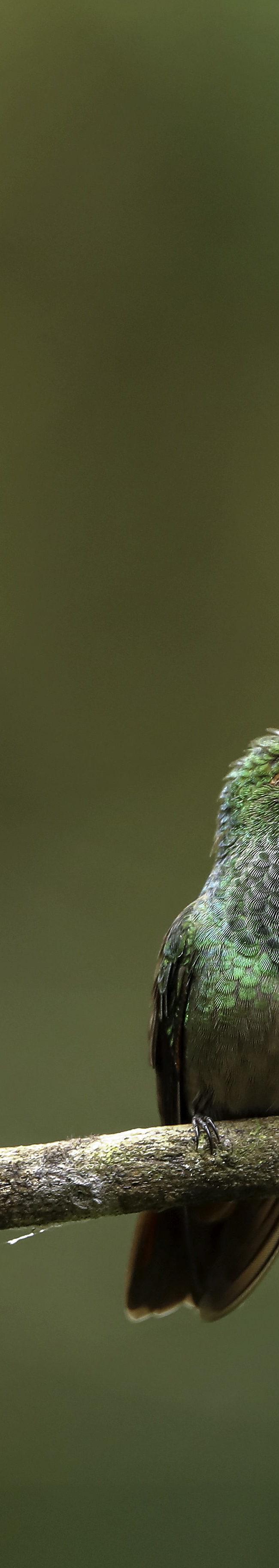 Roodstaartamazilia / Rufous-tailed hummingbird (Amazilia tzacatl)