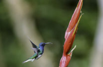 Witnekkolibrie / White-necked Jacobin hummingbird (Florisuga mellivora) (male)