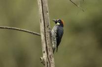 Eikelspecht / Acornn Woodpecker (Melanerpes formicivorus)