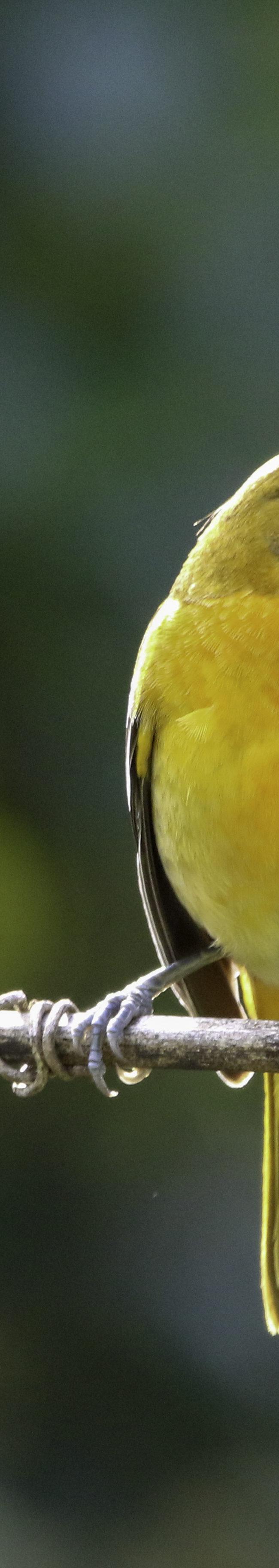 Baltimoretroepiaal / Baltimore Oriole (Icterus galbula) juveniel