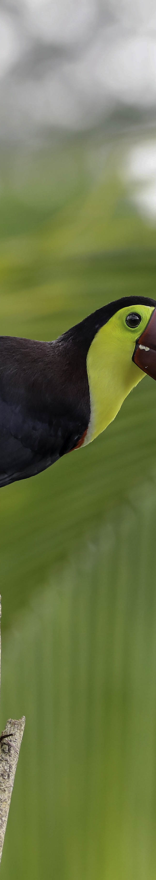 Zwartsnavel toekan / Black-mandibled Toucan (Ramphastos ambiguus)