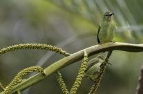 Blauwe suikervogel / Red-legged Honeycreeper (Cyanerpes cyaneus) female