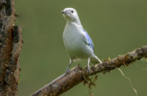 Blauwe Tangare, Bleu-grey Tanager (Thraupis episcopus)