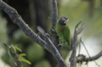 Roodoorpapagaai / Brown-hooded Parrot (Pyrilia haematotis)