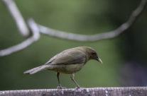 Grays lijster / Clay-colored thrush (Turdus grayi)