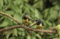 Halsbandarassari Vogel / Collared aracari (Pteroglossus torquatus)