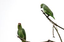 Crimson-fronted Parakeet (Psittacara finschi)