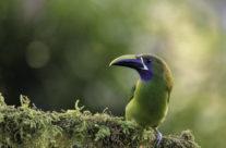 Blauwkeelarassari / Emerald Toucanet (Aulacorhynchus prasinus)