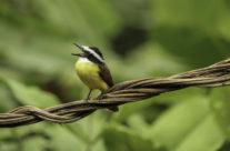 Grote kiskadie / Great kiskadee (Pitangus sulphuratus)