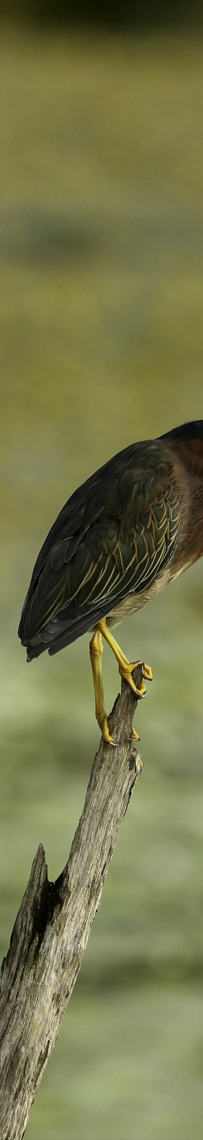 Groene reiger / Green heron (Butorides virescens)