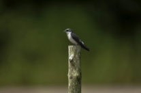 Mangrove zwaluw / Mangrove swallow / (Tachycineta albilinea)