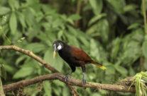 Montezuma oropenola / (Psarocolius montezuma)