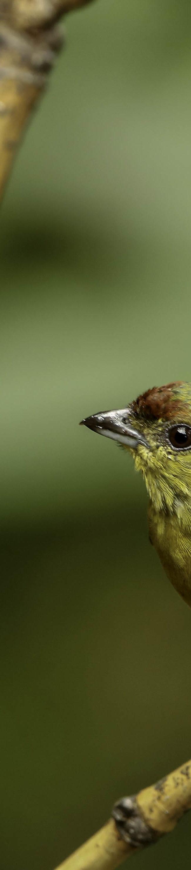 Olive-backed Euphonia (Euphonia gouldi) (female)