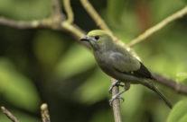 Palm Tanager (Thraupis palmarum)