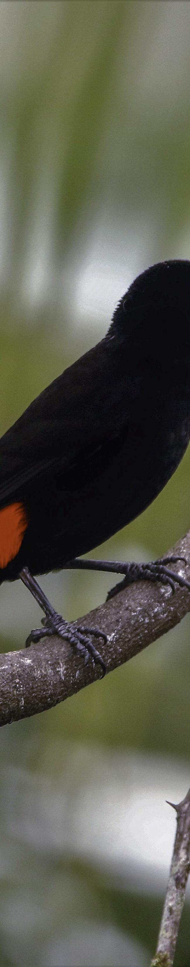 Roodrugtangare / Passerini's tanager (Ramphocelus passerinii) (male)
