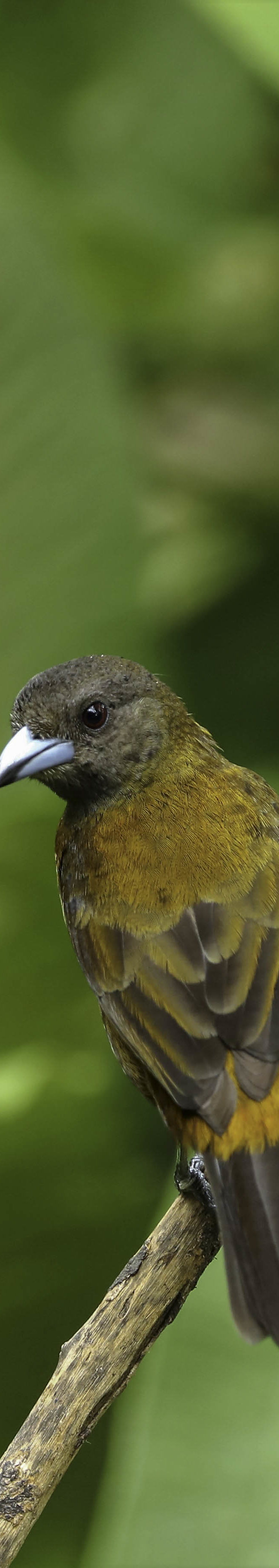 Roodrugtangare / Passerini's tanager (Ramphocelus passerinii) (female)
