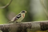 Roodborstkardinaal / Rose-breasted Grosbeak (juveniel male)