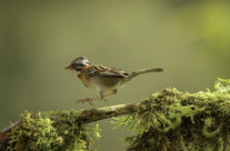 Roodkraaggors / Rufous-collared Sparrow (Zonotrichia capensis) (male)