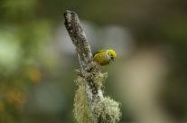 Zilverkeeltangare / Silver Throated Tanager (Tangara icterocephala)