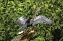 Slangenhalsvogel / Anhinga (Anhingidae)