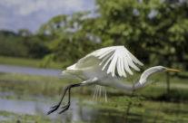 Kleine zilverreiger / Snowy egret (Egretta thula)