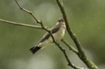 Zuid-Amerikaanse ruwvleugelzwaluw / Rough-winged Swallow (Stelgidopteryx ruficollis)