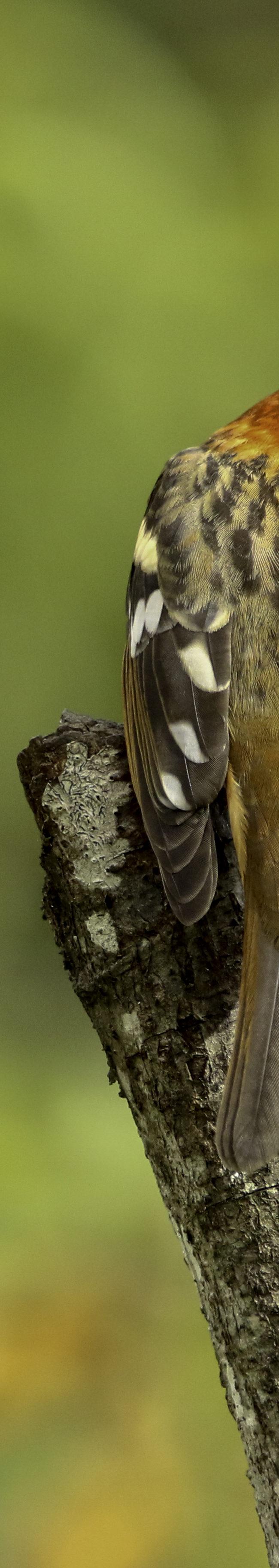 Vlekrugtroepiaal / Streak-backed Oriole (Icterus pustulatus) (male)