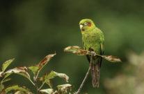 Hoffmanns parkiet / Sulphur-winged Parakeet (Pyrrhura hoffmanni)