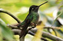 Talamanca kolibrie / Talamanca hummingbird (Eugenes spectabilis) male