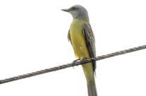 Tropische koningstiran / Tropical kingbird (Tyrannus melancholicus)