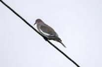 Verreaux' duif / White-tipped dove (Leptotila verreauxi)