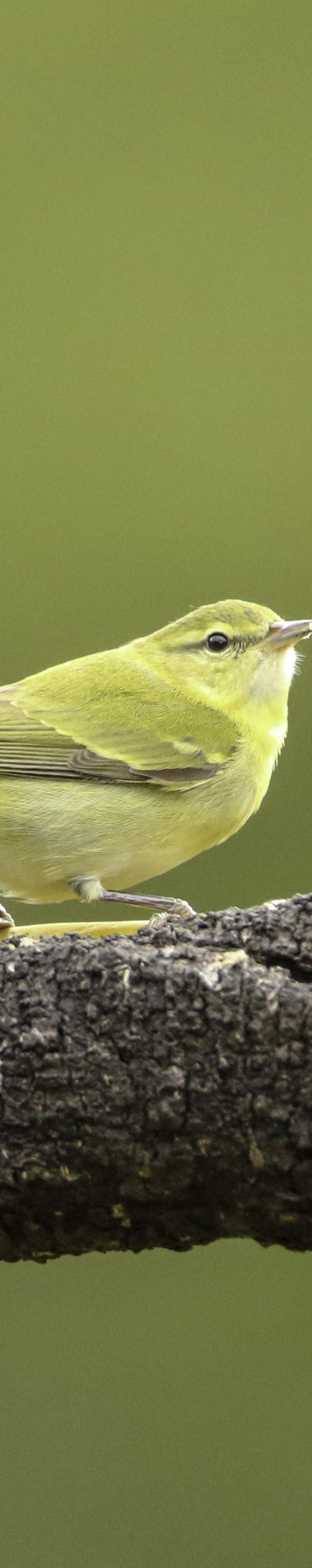 Gele looftiran / Yellow Tyrannulet (Capsiempis flaveola)