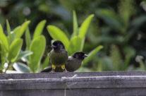 Geeldijstruikgors / Yellow-thighed Finch (Pselliophorus tibialis)