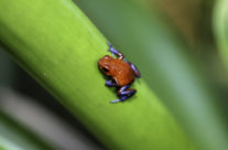 Aardbeikikker / Bleu jeans frog (Oophaga pumilio)