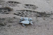Zeeschildpad / Sea turtle (Cheloniidae)