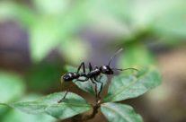 Kogelmier / Bulletant (Paraponera clavata)