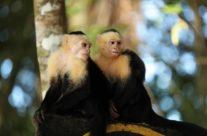 Witschouderkapucijnaap / White-faced capuchin monkey (Cebus capucinus)