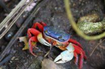 Rode krab / Red crab (Gecarcoidea natalis)