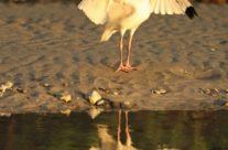Witte ibis /White ibis (Eudocimus albus)