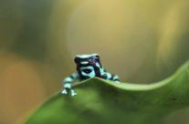 Groen-en-zwart pijlgifkikker / Green-and-black poison dart frog (Dendrobates auratus)
