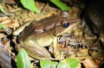 Brilliant forest frog (Lithobates warszewitschii)