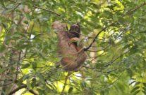 Drievingerige luiaard / Tree toed sloth (Bradypodidae