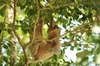 Tweevingerige Luiaard / Two toed sloth (Megalonychidae)