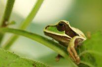 Masked tree frog (Smilisca phaeota)