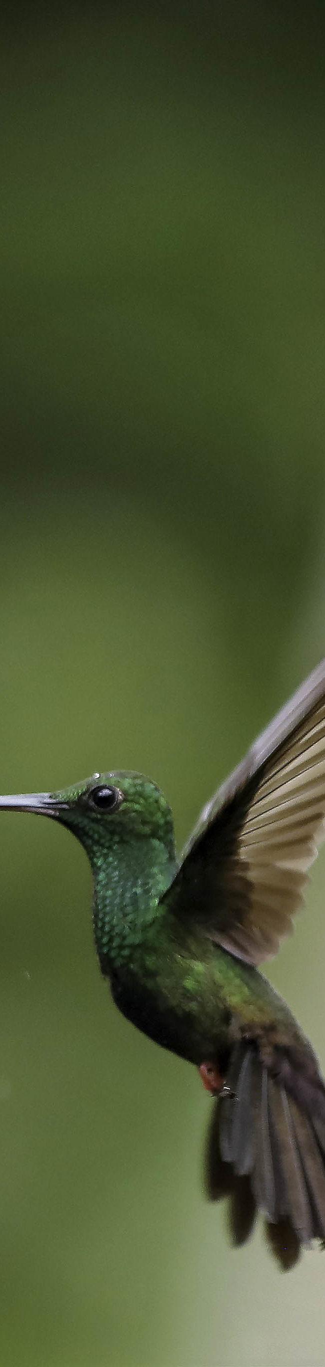 Bronsstaartpluimkolibrie / Bronze-tailed Plumeleteer (Chalybura urochrysia)