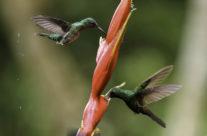 Lesser Violetear (Colibri coruscans)